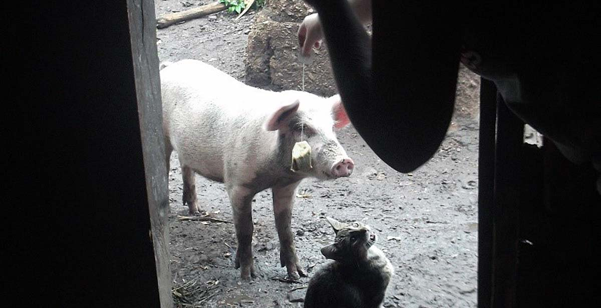 Tea bag being given to pig