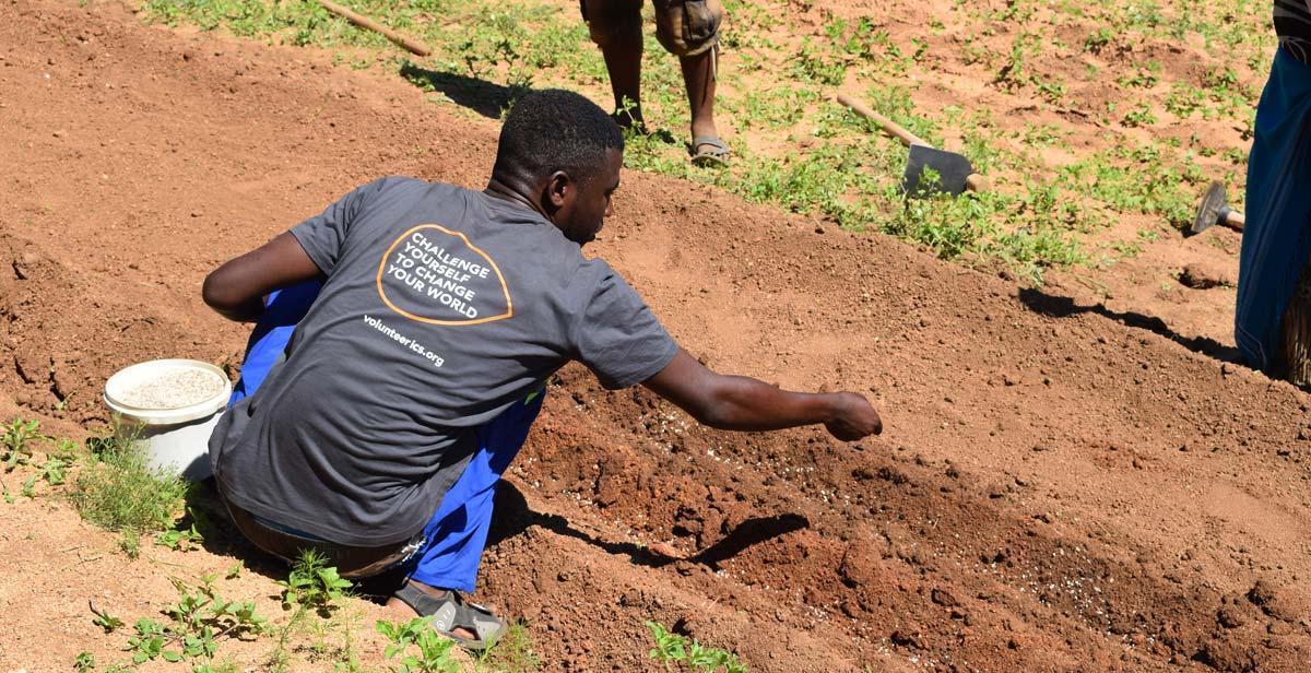 Kudzai planting