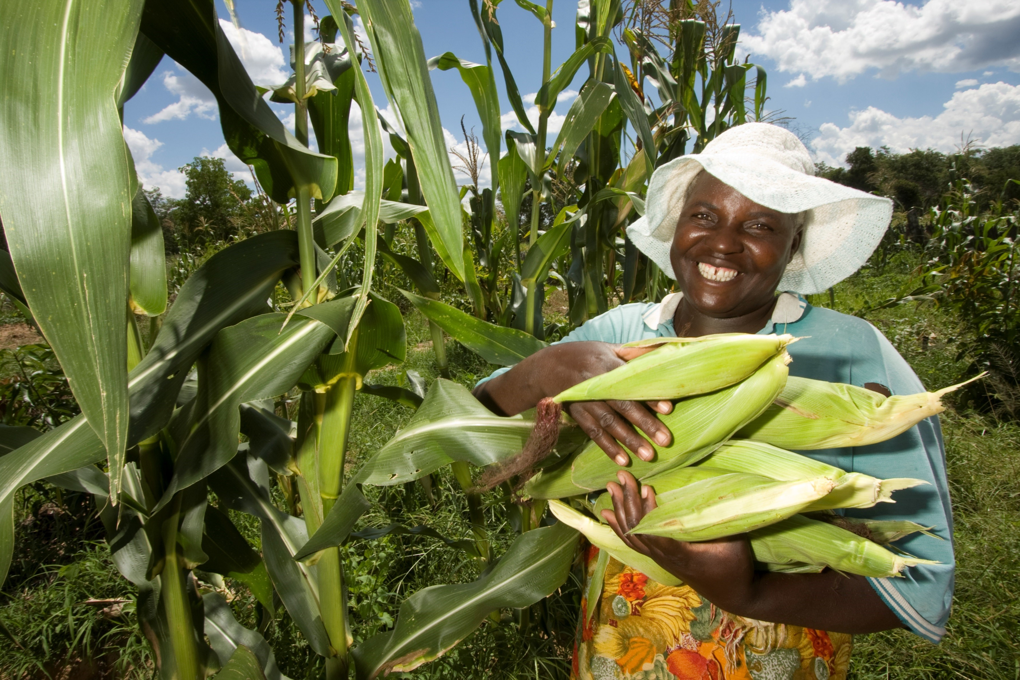 Maize is one of the staple foods eaten in Zimbabwe