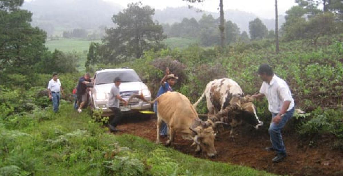 Oxen pulling a truck up a dirt road in Honduras