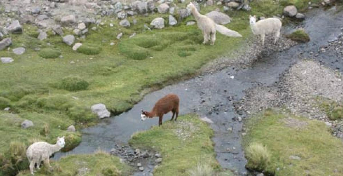 Alpaca grazing beside a stream in Huancavelica, Peru