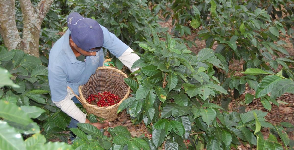Nicaragua, coffee, Progressio, ICS, volunteer, overseas