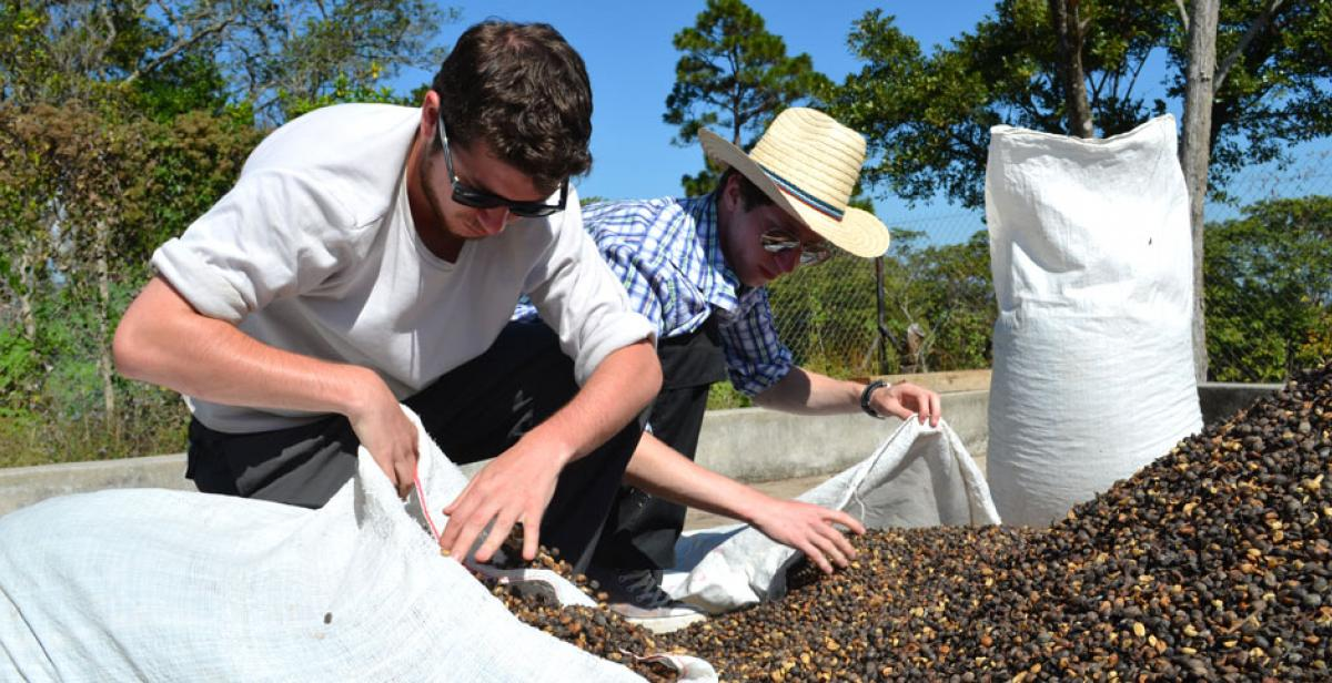 Volunteers collecting coffee beans