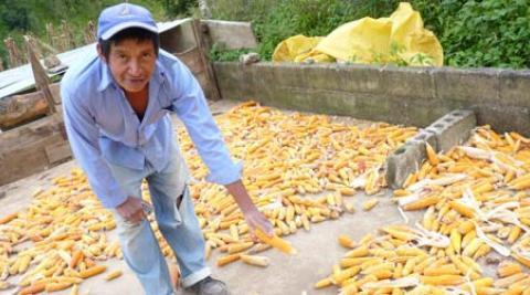 Catalino Vásquez, a farmer in Honduras, with his maize crop