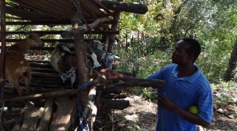 Zimbabwe goats